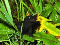 Randonature ch - Guides Nature - Salamandre noire
